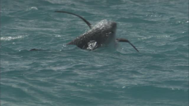 tiger shark (galeocerdo cuvier) attacks black footed albatross (phoebastria nigripes), hawaii - audio disponibile sulla versione digitale video stock e b–roll