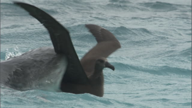 vidéos et rushes de tiger shark (galeocerdo cuvier) attacks black footed albatross (phoebastria nigripes) on sea, hawaii - chasser