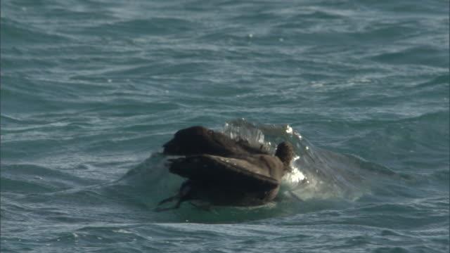 tiger shark (galeocerdo cuvier) attacks black footed albatross (phoebastria nigripes) on sea, hawaii - albatross stock videos & royalty-free footage