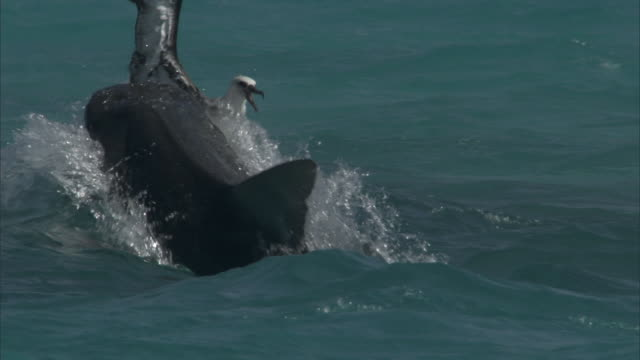 tiger shark (galeocerdo cuvier) attacks laysan albatross (phoebastria immutabilis), hawaii - albatross stock videos & royalty-free footage
