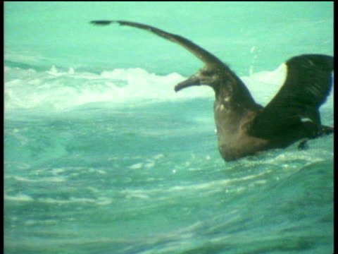 Tiger shark attacks young albatross on surface of sea, drags it underwater and eats it, Leeward Islands