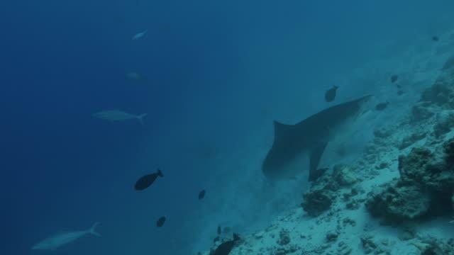 vídeos de stock, filmes e b-roll de cruzeiro do tubarão de tigre no recife do subsea em maldives - passear sem destino