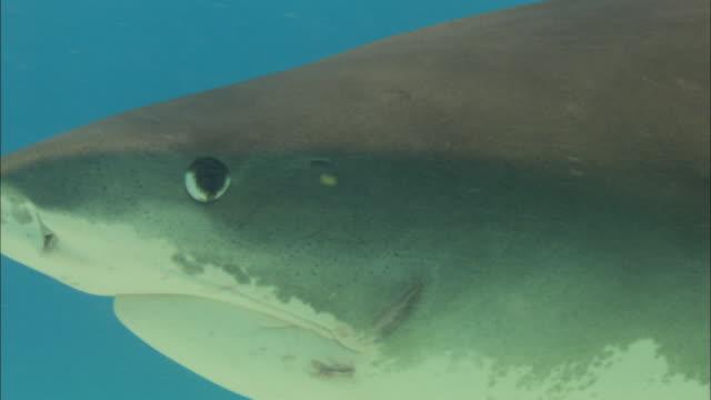 tiger shark, galeocerdo cuvier, bahamas  - close up stock videos & royalty-free footage