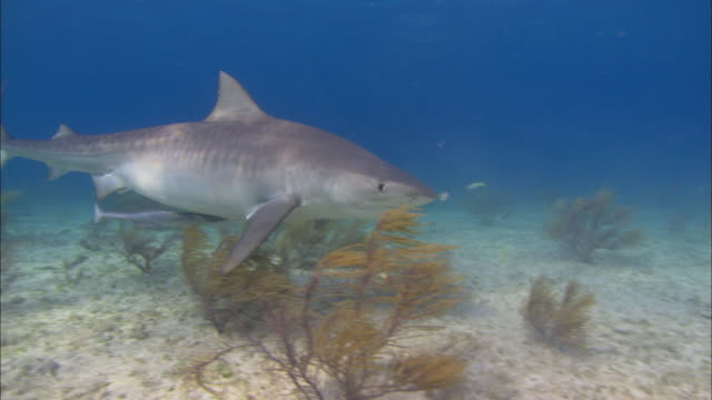 tiger shark, galeocerdo cuvier, opens mouth, eats, sandy seabed, bahamas  - tiger shark stock videos & royalty-free footage