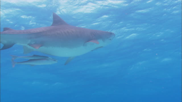 tiger shark, galeocerdo cuvier, rises to surface, bahamas  - tiger shark stock videos & royalty-free footage