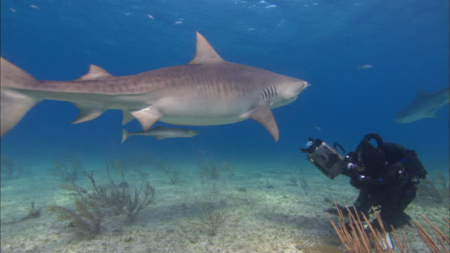 tiger shark, galeocerdo cuvier, sandy seabed, bahamas  - shark stock videos & royalty-free footage