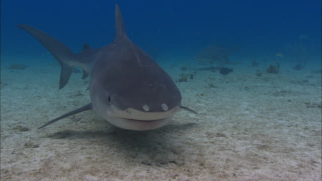 Tiger shark, Galeocerdo cuvier, searches for food, Bahamas