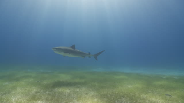 tiger shark in blue swimming over colourful sea grass - sea grass plant点の映像素材/bロール
