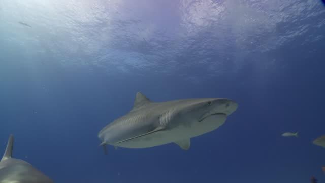 tiger shark in group - ペレスメジロザメ点の映像素材/bロール