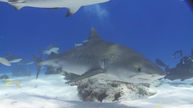 tiger shark looming through reef - caribbean reef shark stock videos and b-roll footage