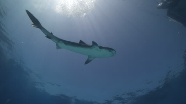 a tiger shark swim overhead towards a group of divers - wide - tiger shark stock videos & royalty-free footage