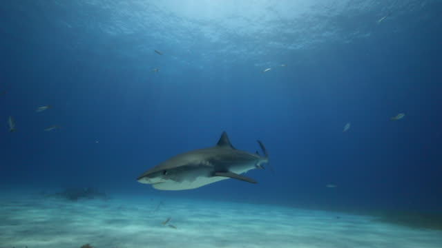 a tiger shark swimming in open water - wide - shark stock videos & royalty-free footage