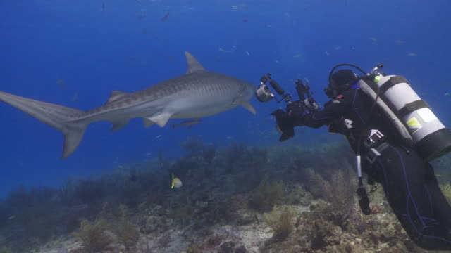 Tiger shark swimming over reef, photographer photographing