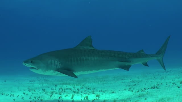 tiger shark swimming over sandy bottom. - remora fish stock videos & royalty-free footage