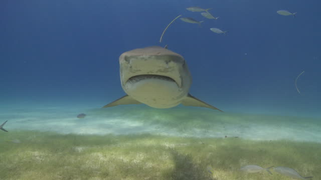tiger shark swimming to camera over sea grass - sea grass plant点の映像素材/bロール