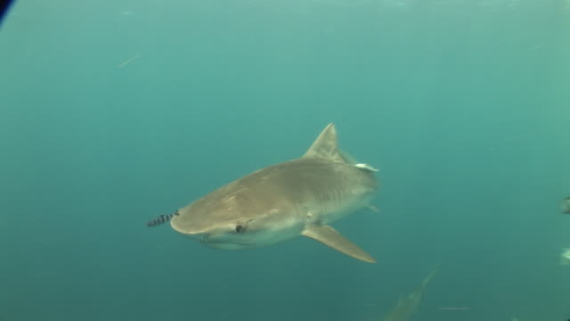 tiger shark (galeocerdo cuvier) swimming with pilot fish (naucrates ductor), aliwal, south africa - pilot fish stock videos and b-roll footage