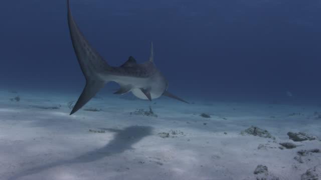 vídeos de stock, filmes e b-roll de tiger shark (galeocerdo cuvier) swims away in tropical shallow sea, hawaii - cauda