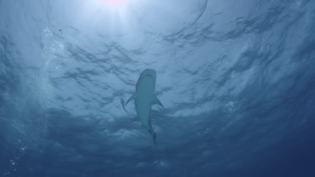 tiger shark (galeocerdo cuvier) swims in tropical shallow sea, hawaii - tropischer fisch stock-videos und b-roll-filmmaterial