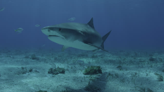 tiger shark (galeocerdo cuvier) swims in tropical shallow sea, hawaii - remora fish stock videos & royalty-free footage