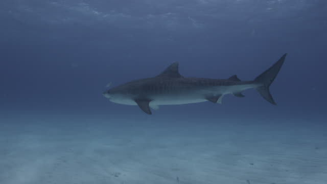 tiger shark (galeocerdo cuvier) swims in tropical shallow sea, hawaii - tiger shark stock videos & royalty-free footage