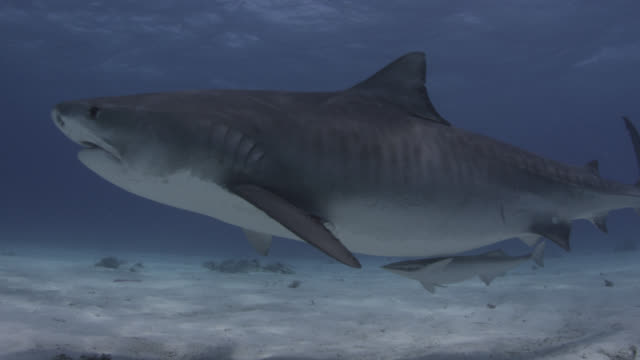 Tiger shark (Galeocerdo cuvier) swims in tropical shallow sea, Hawaii