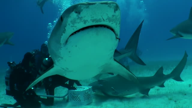 tiger shark swims into the bait box then across in front of the camera. - animal fin stock videos and b-roll footage