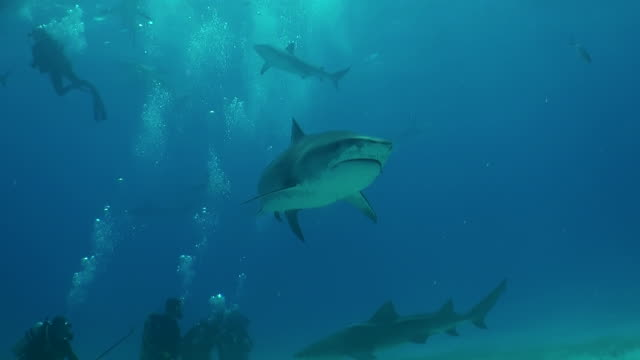 tiger shark swims over a group of divers. - remora fish stock videos & royalty-free footage