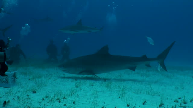 tiger shark swims over a sandy bottom to a group of scuba divers. - shark stock videos & royalty-free footage