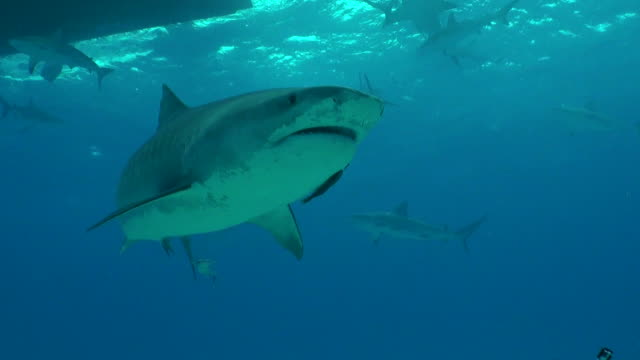tiger shark swims over the camera with caribbean reef sharks in the background. - caribbean reef shark stock videos and b-roll footage