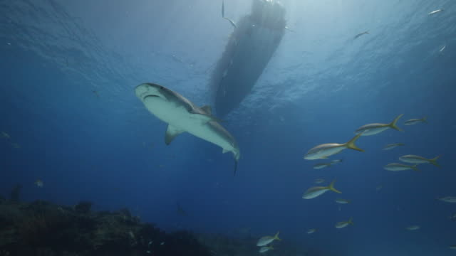 a tiger shark swims overhead - wide shot - tiger shark stock videos & royalty-free footage