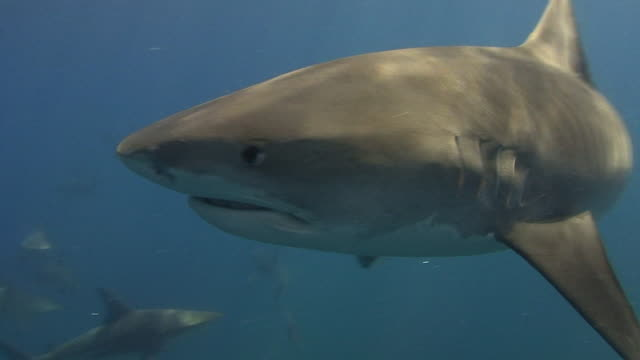 tiger shark (galeocerdo cuvier) - shark stock videos & royalty-free footage