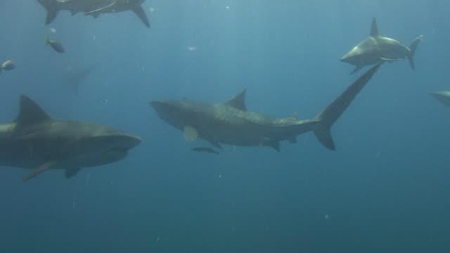 vídeos de stock, filmes e b-roll de tubarão-tigre (galeocerdo bico -) - tubarão