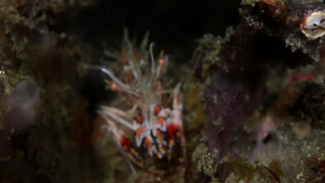 tiger shrimp walking along coral reef - shrimp stock videos & royalty-free footage