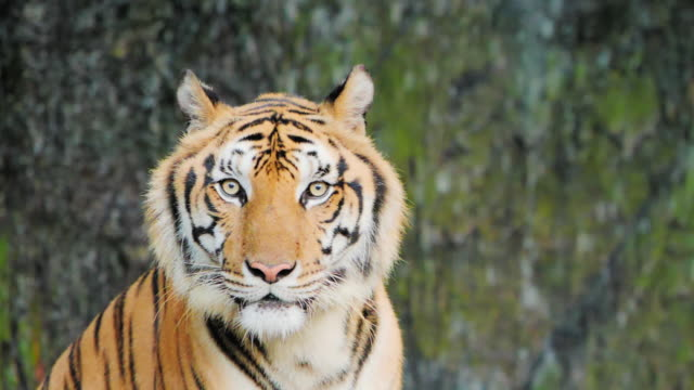 tiger; siberian or benga tiger, slow motion. - animals in the wild stock videos & royalty-free footage