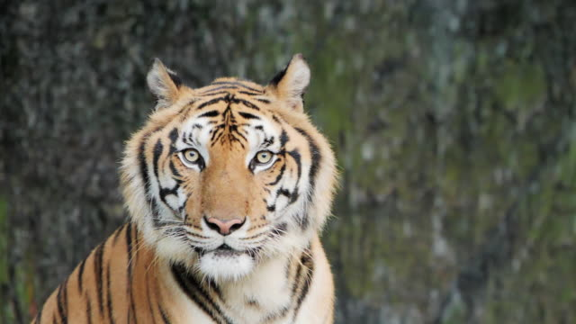 tiger; siberian or benga tiger, slow motion. - endangered species stock videos & royalty-free footage