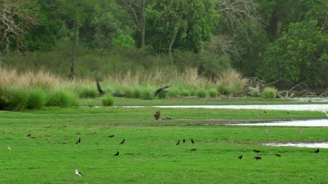 tiger sitting in the edge of lake water - wide shot - 食糧を捜す点の映像素材/bロール