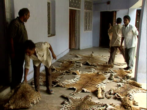 tiger skins confiscated from illegal traders india 2000 - tierhaut stock-videos und b-roll-filmmaterial