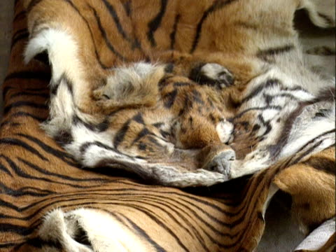 Tiger skins confiscated from illegal traders India 2000