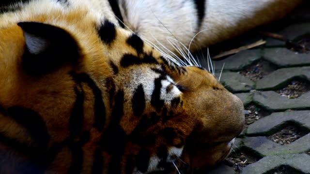 vídeos y material grabado en eventos de stock de tiger de descanso - felino grande