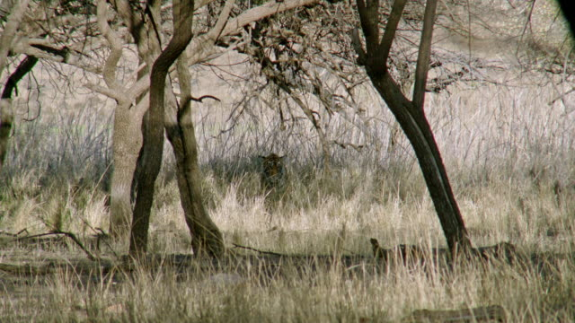 tiger stalking on dry grass field - hiding stock videos & royalty-free footage