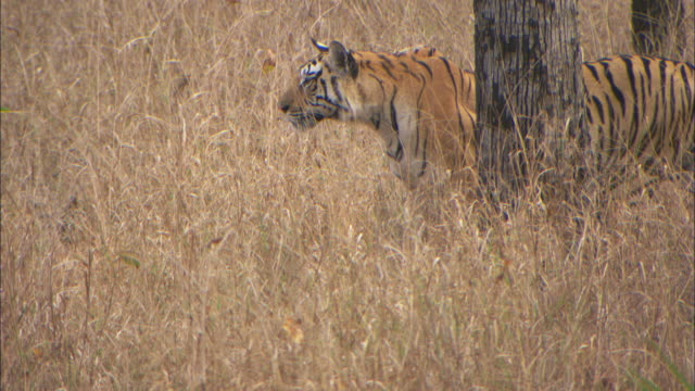 tiger stalks axis deer prey, pench, india. - stealth stock videos and b-roll footage