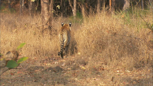A tiger stalks axis deer prey through grass in a forest in Pench, India.