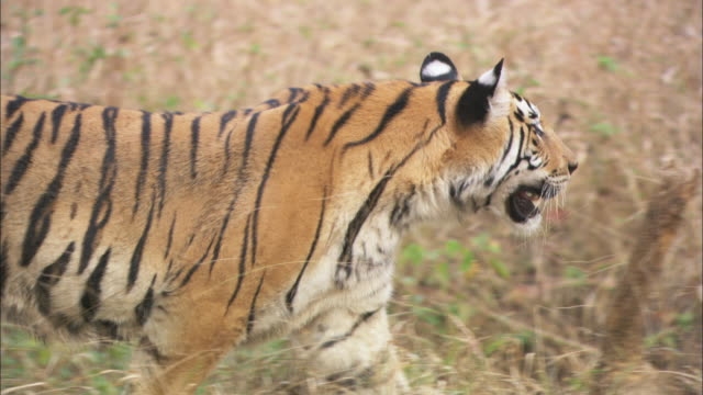 A tiger stalks prey in a forest.