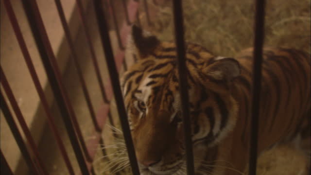 A tiger stands in a cage and looks around.