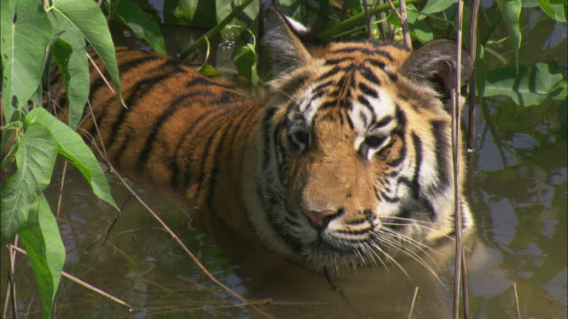 A tiger stands in a swamp in the Pench National Park in India.