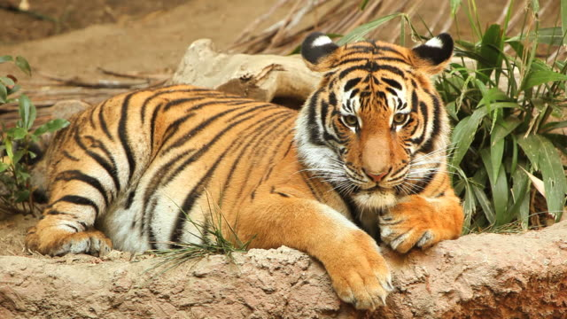 tiger stare (full hd) - zoo stock videos & royalty-free footage