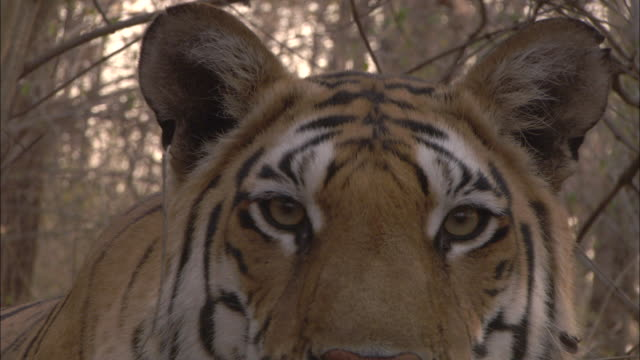 a tiger stares straight ahead. - aggression stock videos & royalty-free footage