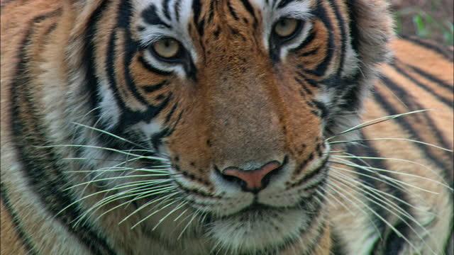 tiger staring at the camera - closeup shot - animal hair stock videos & royalty-free footage