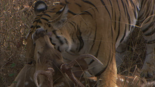 a tiger suffocates an axis deer in pench, india. - totschlag stock-videos und b-roll-filmmaterial