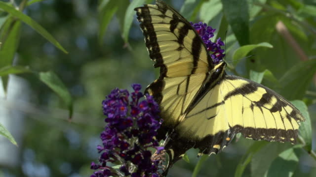 CU Tiger Swallowtail Butterfly (Papilio glaucus) collecting nectar from Delphinium flower, North Plainfield, New Jersey, USA
